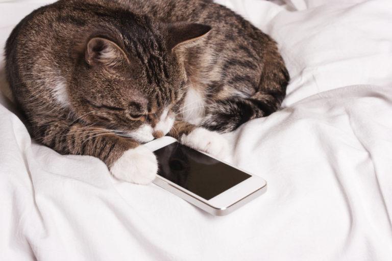 スマホの画面を注視する猫
