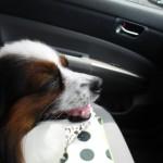 血統書付き犬などのペットが交通事故で死んだ場合の飼い主の慰謝料
